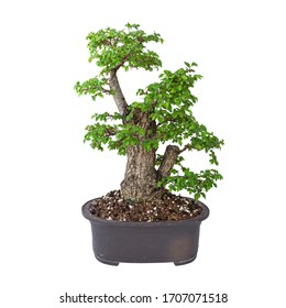 very old yamadori Ulmus procera isolated over white, the common english field elm planted in japanese ceramic pot