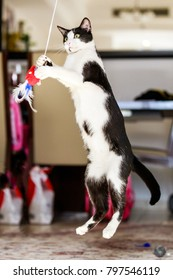 A very playful Arabian Mau black and white cate in Dubai jumping up.