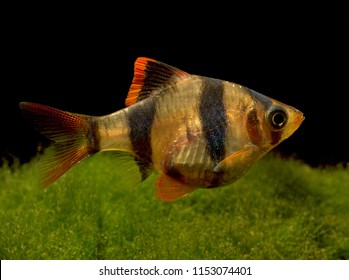 very popular freshwater fish (Puntigrus anchisporus) the tiger barb or Sumatra barb