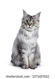 Very pretty silver tortie young adult Maine Coon cat, sitting staright up front view. Looking at camera with one green eye. Isolated on white background.