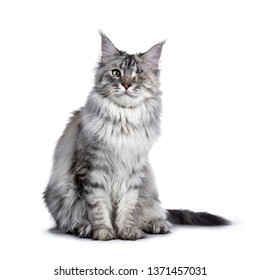 Very pretty silver tortie young adult Maine Coon cat, sitting side ways facing front. Looking at camera with one green eye. Isolated on white background.