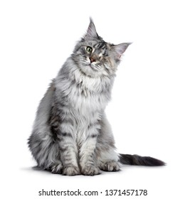 Very pretty silver tortie young adult Maine Coon cat, sitting facing front. Leaning to the side. Looking at camera with one green eye. Isolated on white background.