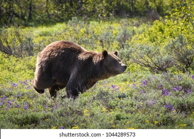 A very protective mother grizzly, running at full speed, charges an intruder in her territory.