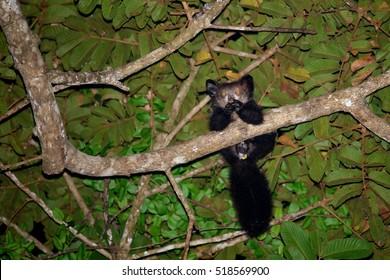 very rare Aye-Aye (Daubentonia madagascariensis) lemur, strepsirrhine primate, world's largest nocturnal primate, Masoala forrest reserve, Madagascar wildlife