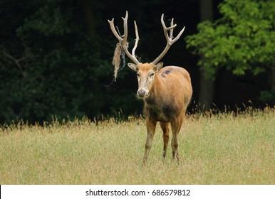 Very rare deer Elaphurus davidianus
