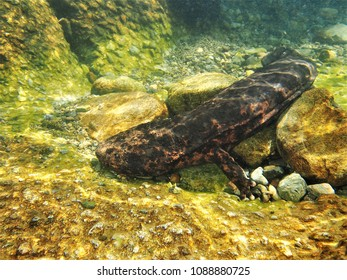 very rare giant salamander. Protected by law, it is rare to see them move around in life.