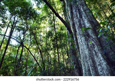 A very rare Leatherwood tree in Springbrook National Park in Queensland Australia.