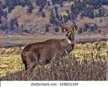 Very rare Mountain nyala, Tragelaphus buxtoni, is a large antelope, lives only in a small area of Bale National Park, Ethiopia