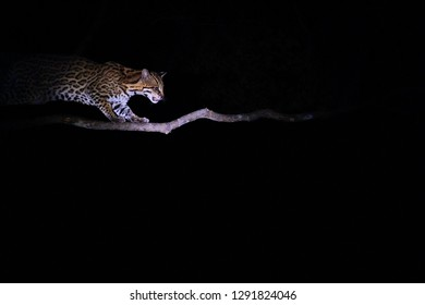 Very rare Ocelot, Leopardus Pardalis, at night, wild cat native to the United States, Mexico, Central and South America. Fazenda San Francisco, Miranda, Mato Grosso do Sul, Brazil, South America