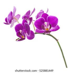 Very Rare Purple Orchid Isolated on White Background. Selective Focus