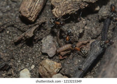 very rare relict species of ants called Liometopum microcephalum also known as velvety tree ants , creating long foraging trails, found in the Czech republic, South Moravia, Lednice Valtice area