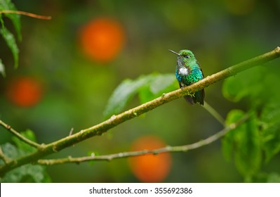 Very rare tiny hummingbird Emerald-bellied Puffleg Eriocnemis aline, perched on diagonal mossy twig with raindrops. Dark green blurred leaves and orange flowers in background.