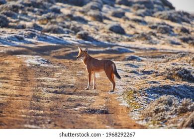 Very rare wildlife, Ethiopian wolf, Canis simensis, orange and white canine beast, Sanetti Plateau. Frosty morning, hoarfrost on vegetation, sunrise. Bale Mountains, travel around Ethiopia.