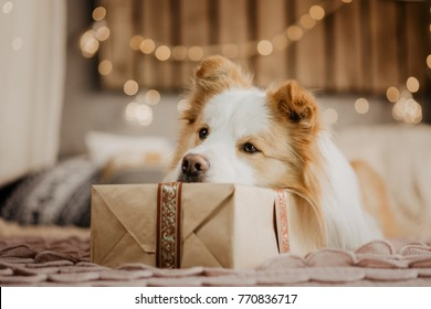 Very sad border collie laying on the bed resting his head on the gift box
