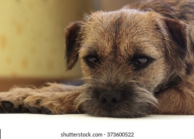 Very sad dog. Sad border Terrier. Clever dog. The dog is sick and misses his owner. Terrier needs trimming.