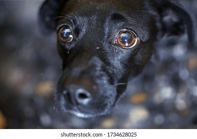 Very sad small dog breed scared of camera staring at his owner with fear, hiding under table.