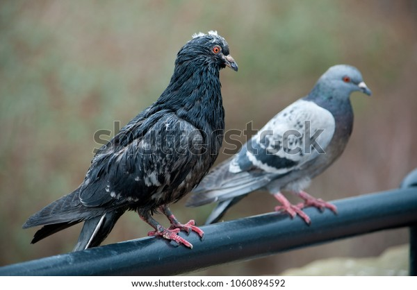 A very scruffy pigeon standing next to it's mate