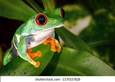 Very serious nice red eyed tree frog and pitcher plant