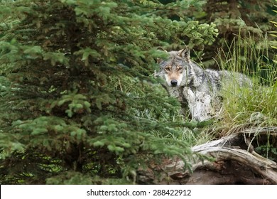 very shy wolf peering out of the woods