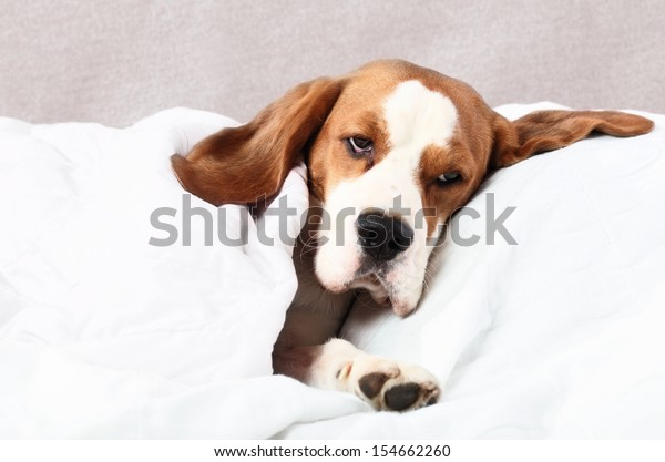 The very  sick dog under a blanket