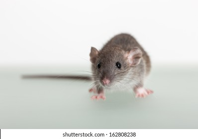 very small baby rat on the table