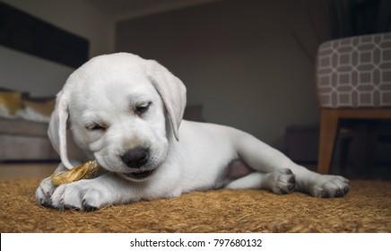 very small cute white purebred labrador retriever dog puppy eats some dog food at home