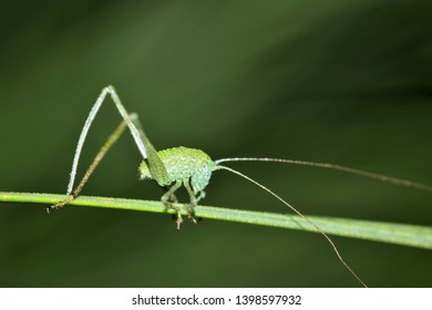 A very small Katydid nymph making its way along a plant stalk with a green blurred nature background in Houston, TX.