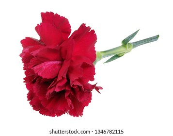 Very small perfect lonely  red carnation  flower lie on table. Isolated on white studio macro focus stacking shot