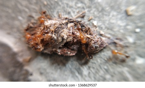 Very Small Red Ants Eating Insect