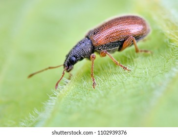 Very small weevil rest on green leafs with blurry green background. Macro closeup image of european tiny beetle