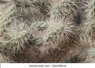Very spiny and sharp cactus, seen in a tight closeup, from the Sonoran desert of southeastern Arizona, near Tucson.