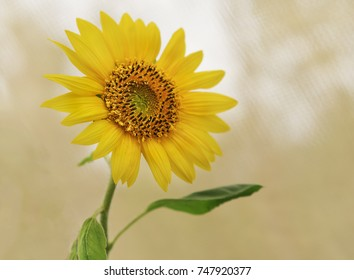 The very spiritual yellow sunflower looking upwards representing auspicious, good luck, long life,  bounty, harvest,  adoration, loyalty and longevity concepts