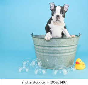 Very Sweet black and white Boston terrier puppy in a bath tub with a cute look on his face.  With bubbles and a rubber ducky on a blue black ground.