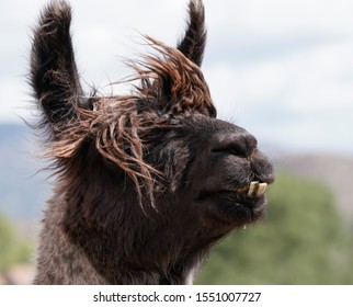 A very sweet llama in serious need of a haircut and a trip to the dentist.