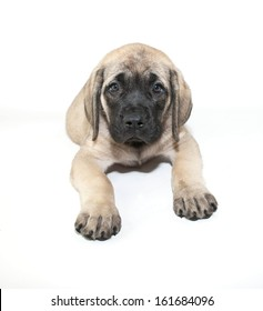 Very sweet Mastiff puppy laying on a white background.