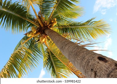 Very tall Florida palm tree