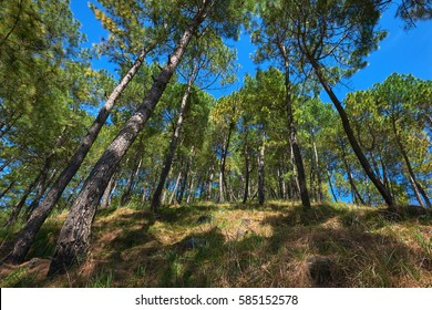 Very tall green trees on the hillside near Dakshinkali, Nepal. It is a trekking route in the green mountains.