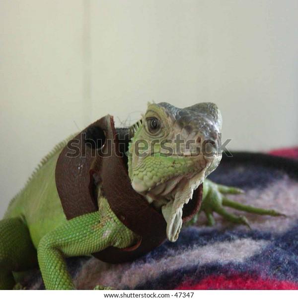 Very tame Iguana