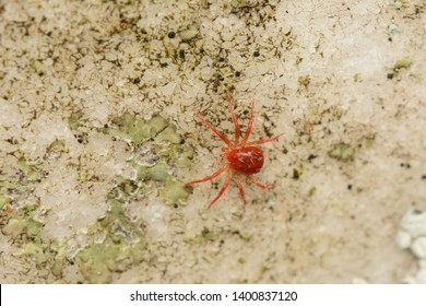 A very tiny red mite on a lichen covered gravestone in Kent, UK. These  are arthropods in the the class Arachnida and the subclass Acari.