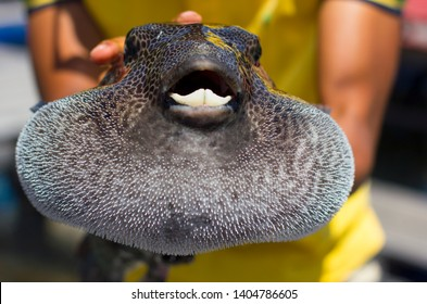 Very toxic inflated blowfish in man's hands