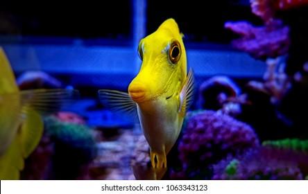 Very unique capture of famous Hawaiian fish - Zebrasoma Yellow Tang