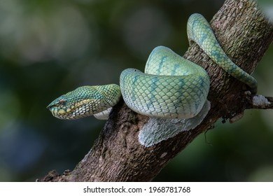 A very venomous and endemic snake Sabah Pit Viper Bornean Keeled Pit Vipe with nature green background
