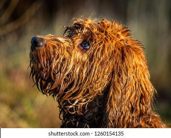 A very wet cockapoo puppy sitting attentively waititng on its owners commands