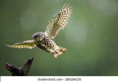 A very wet little owl flying through the rain