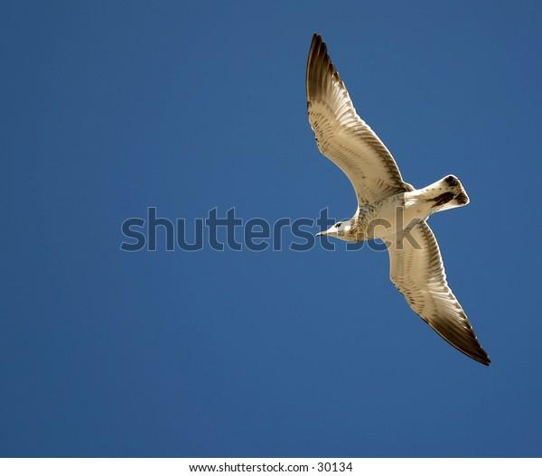A very white bird soaring through the sky.