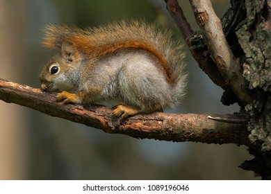 Very young American Red Squirrel resting on a dead branch. Rosetta McClain Gardens, Toronto, Ontario, Canada.