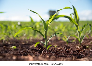 Very young corn plant in a sunny day
