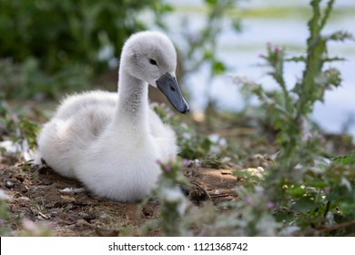Very young Cygnet sat near water partially obscured by vegetation