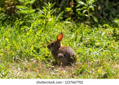 Very Young Eastern Cottontail Rabbit in Nature against the Sun