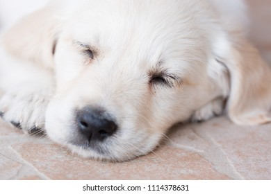 Very young golden retriever puppy is sleeping, portrait closeup